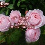 ガーデコ流!のバラ・ナエマ( Nahema )の育て方・栽培方法