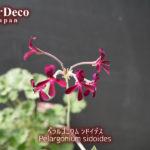 ペラルゴニウム・シドイデスが開花、だけど…。