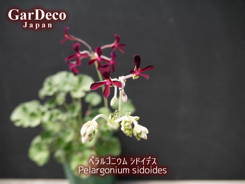 ペラルゴニウム・シドイデスの写真・画像