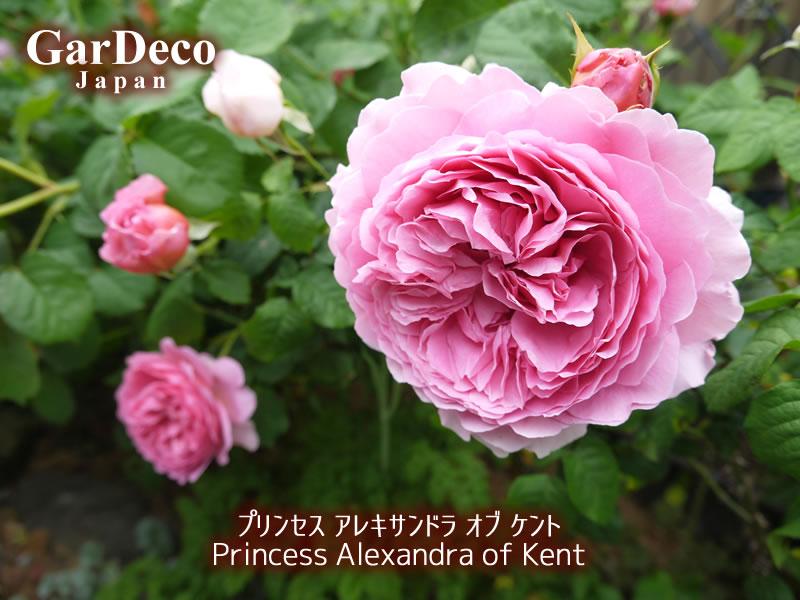 プリンセスアレキサンドラオブケントの写真・画像