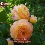 ロソマーネジャノン、開花から一日経って。