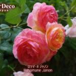 ロソマーネジャノンの花色の変化。