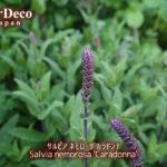 サルビア・ネモローサ・カラドンナがもう間もなく開花。