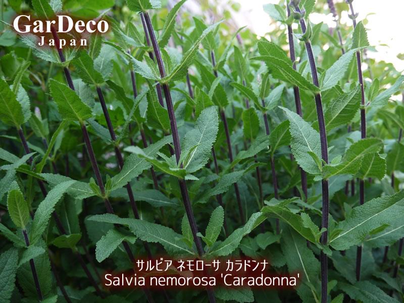 サルビア・ネモローサ・カラドンナの黒褐色の茎。