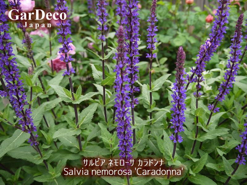バラと相性の良いおすすめ植物・サルビアネモローサカラドンナ