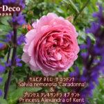 バラと相性の良いおすすめ植物:サルビア・ネモローサ・カラドンナ