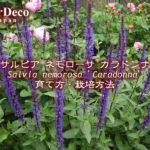 サルビアネモローサカラドンナの育て方・栽培方法