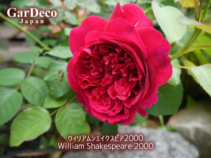 ウィリアムシェークスピア2000の写真・画像