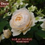 黒点病に強いバラ、ウィンダーメア(ウィンダミア)