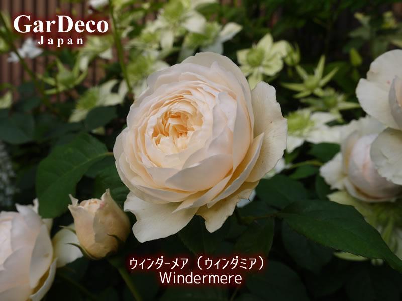 イングリッシュローズ・ウィンダーメア(ウィンダミア)の写真・画像