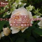 ガーデコ流!ウィンダーメア(ウィンダミア)の育て方・栽培方法