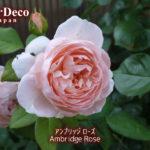 アンブリッジローズの二番花。