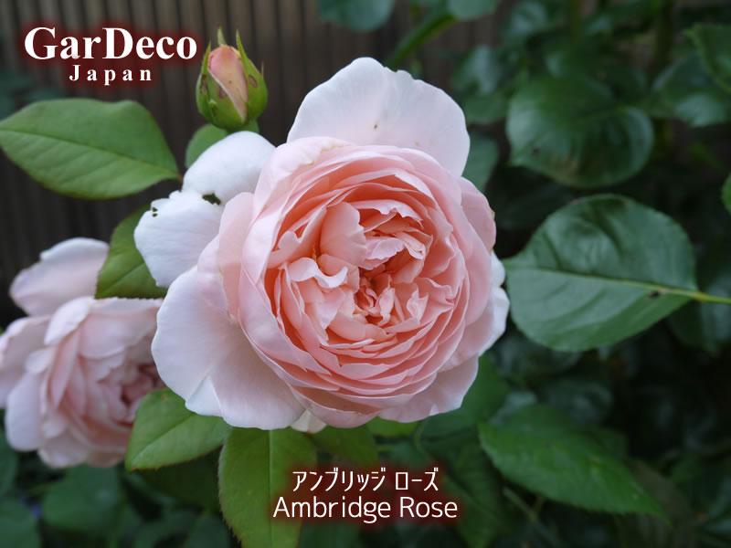 アンブリッジローズ(バラ)の二番花