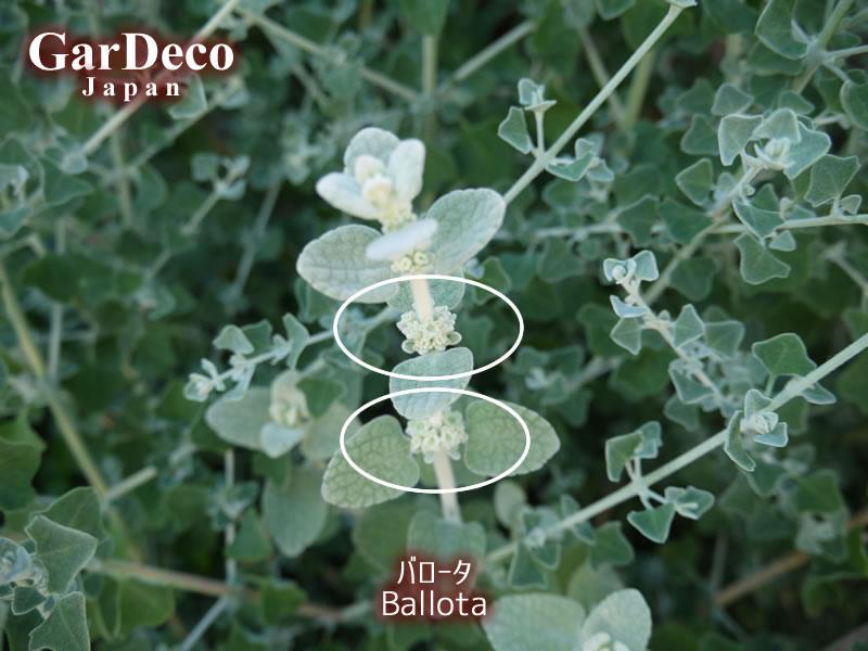 バロータの花