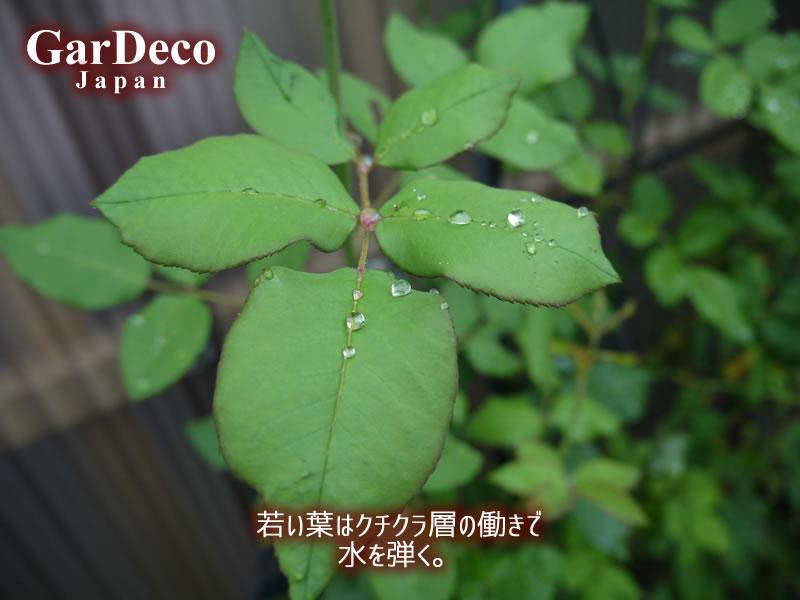 バラの若い葉はクチクラ層という保護膜の働きで水を弾き、黒点病の原因菌に感染しづらい。