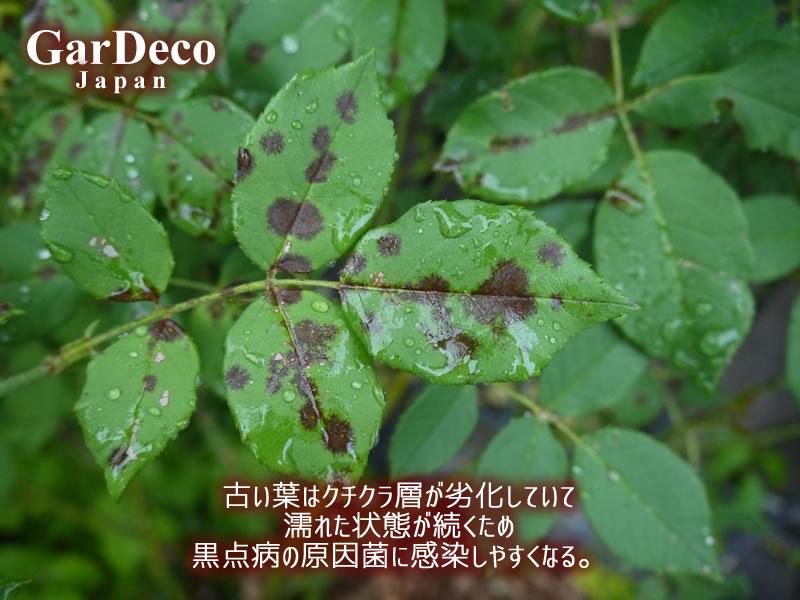 バラの古い葉はクチクラ層が劣化して濡れた状態が続き、黒点病の原因菌に感染しやすい。
