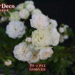グリーンアイス(ミニバラ)の一番花は、強制終了。