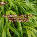 斑入り風知草(フウチソウ)の育て方・栽培方法
