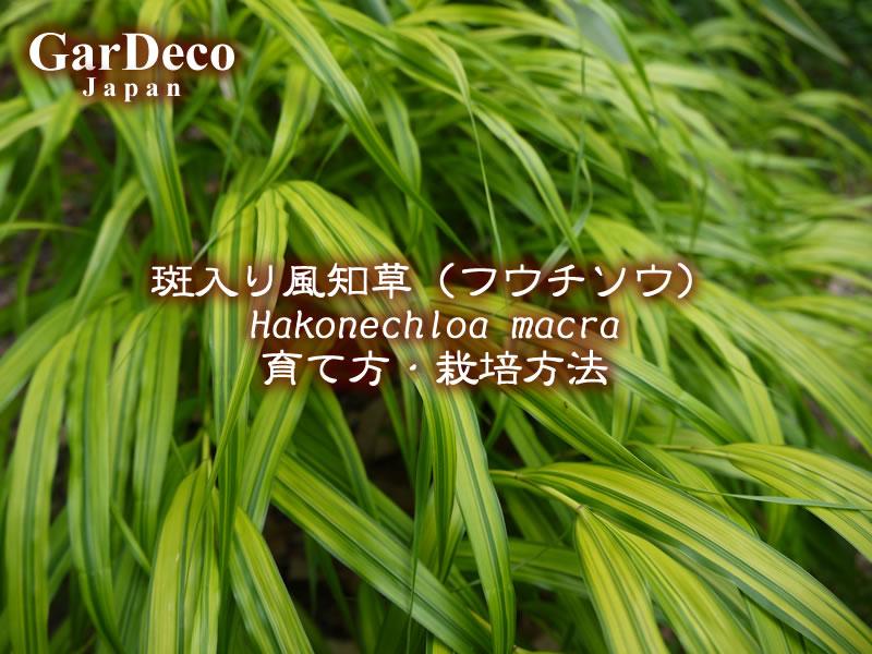 斑入り風知草(フウチソウ、フウチ草)の育て方・栽培方法