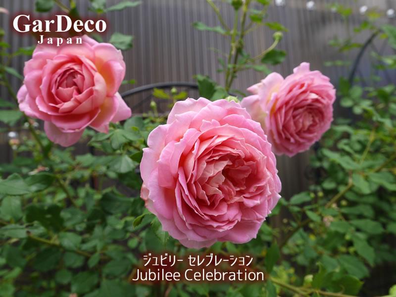 ジュビリーセレブレーションのベーサルシュートの先に咲いた花