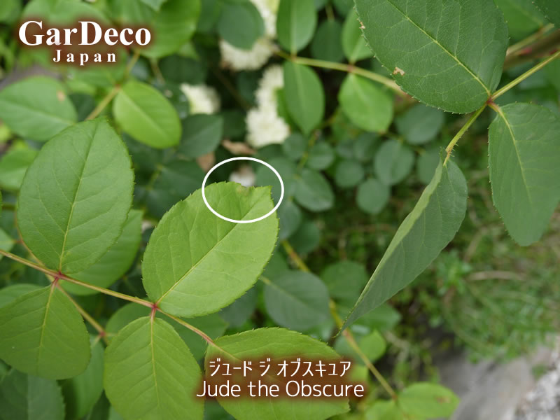 ジュードジオブスキュアの葉