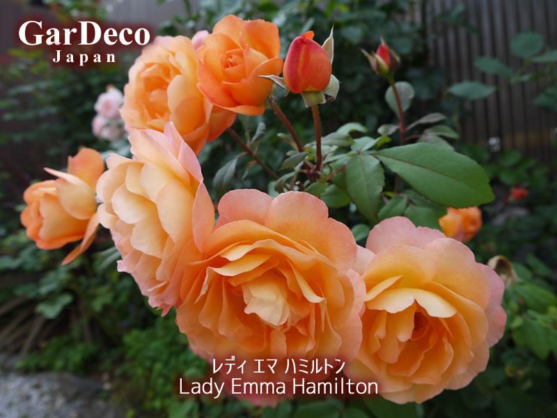 レディエマハミルトンのベーサルシュートの先に咲いた花