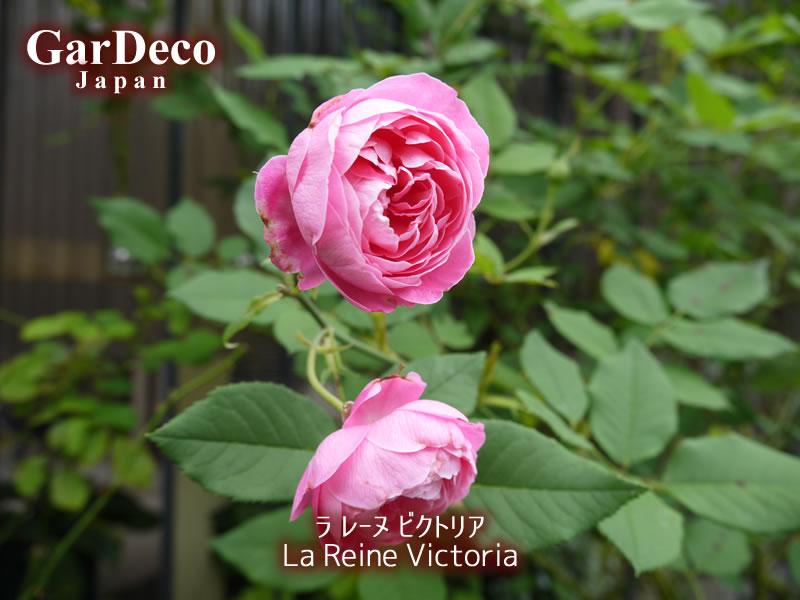ラレーヌビクトリアの二番花