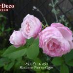 マダムピエールオジェ( Madame Pierre Oger )の二番花。