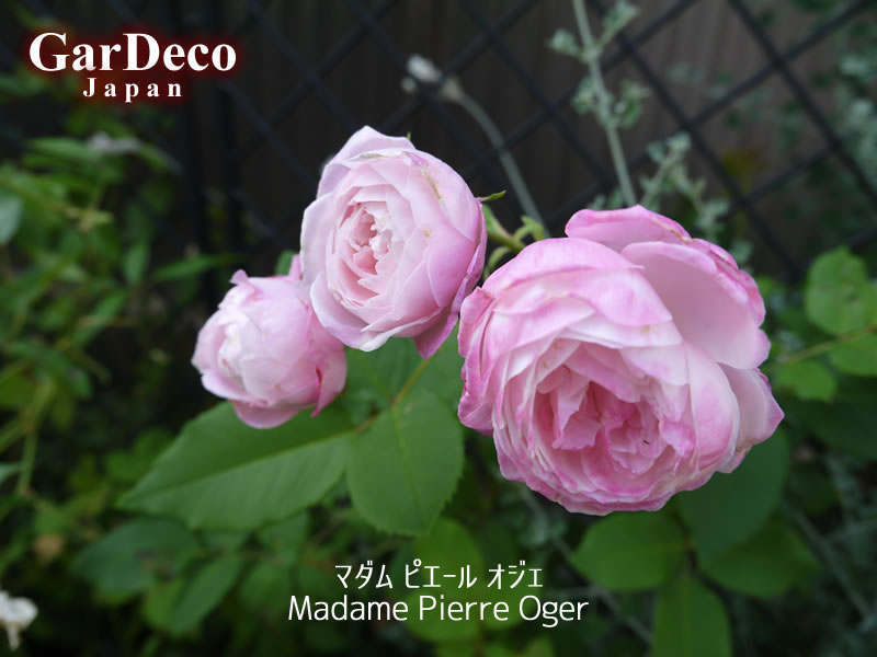 マダムピエールオジェ(Madame Pierre Oger)の二番花。