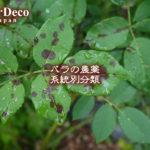 バラの黒点病(黒星病)に対する農薬、薬剤を系統別に分類しました。