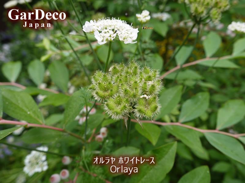 オルラヤ(オルレア)が咲き終わって種が出来始めました。