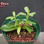 サルビアネモローサカラドンナの挿し木(挿し芽)を鉢上げ。
