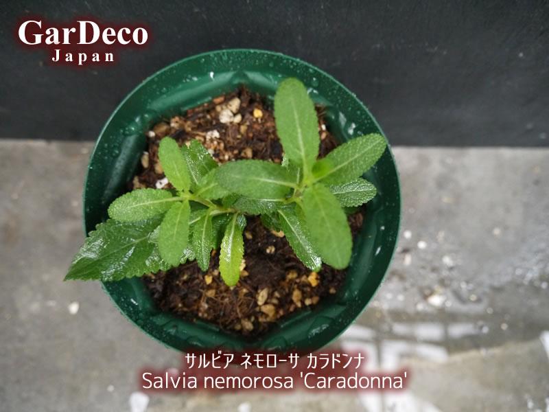 サルビアネモローサカラドンナの挿し木を鉢上げ