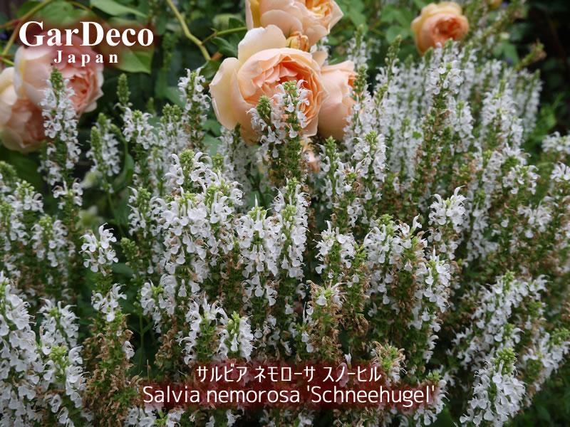 サルビアネモローサスノーヒルがほぼ咲き終わりました。