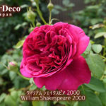 ウィリアムシェイクスピア2000開花。