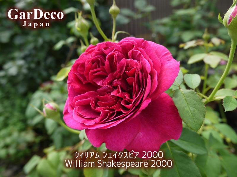 ウィリアムシェイクスピア2000(ウィリアムシェークスピア2000)の写真・画像