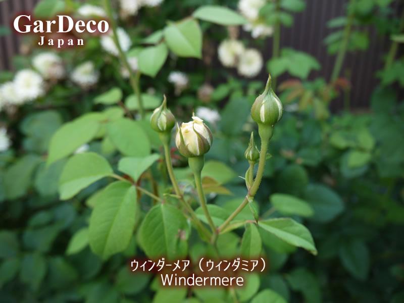 ウィンダーメア(ウィンダミア)2番花のつぼみ