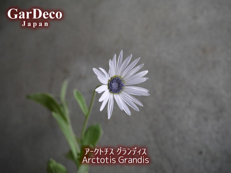 アークトチスグランディス7月の花。