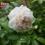 鉢植えのバラ、ボレロ( Bolero )の二番花。