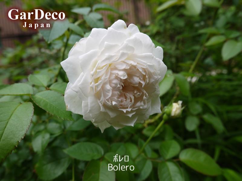 鉢植えのバラ、ボレロ(Bolero)の二番花