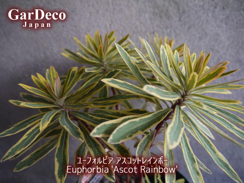 ユーフォルビア・アスコットレインボー(Euphorbia 'Ascot Rainbow')の写真・画像