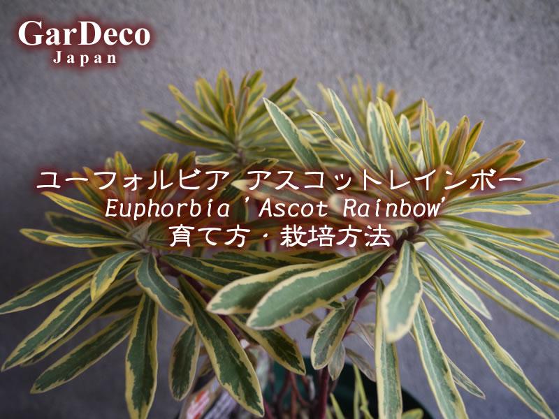 ユーフォルビア・アスコットレインボー( Euphorbia 'Ascot Rainbow' )の育て方・栽培方法