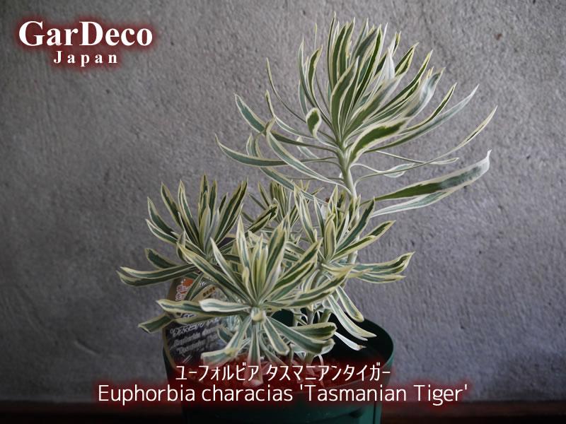 ユーフォルビア・タスマニアンタイガー(Euphorbia characias 'Tasmanian Tiger')の写真・画像