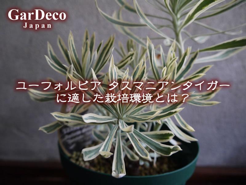 ユーフォルビア・タスマニアンタイガー(Euphorbia characias 'Tasmanian Tiger')に適した栽培環境とは?