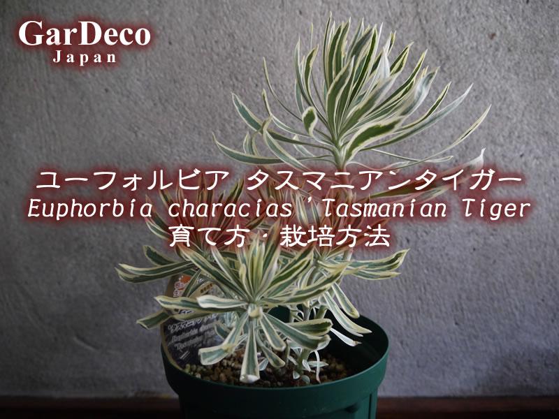 ユーフォルビア・タスマニアンタイガー( Euphorbia characias 'Tasmanian Tiger' )の育て方・栽培方法