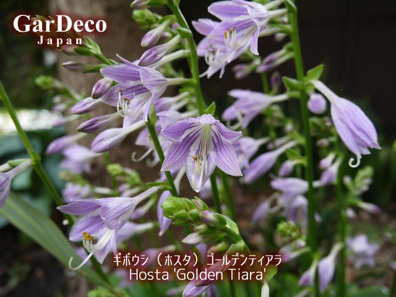ギボウシ(ホスタ)ゴールデンティアラの花。