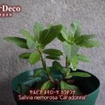 サルビアネモローサカラドンナの挿し木の生長記録その1