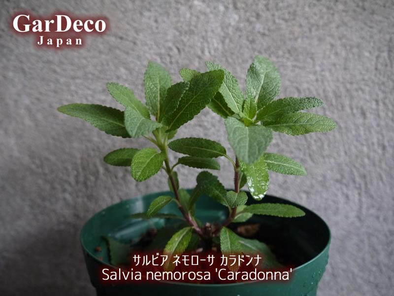 サルビアネモローサカラドンナ(Salvia nemorosa 'Caradonna')の生長記録