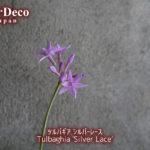 ツルバギア・シルバーレース開花。