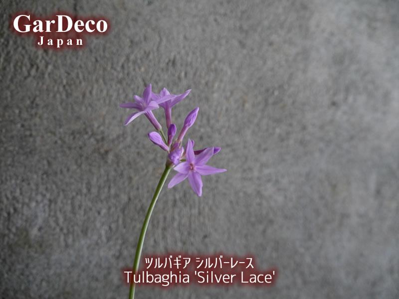 ツルバギア・シルバーレースの花